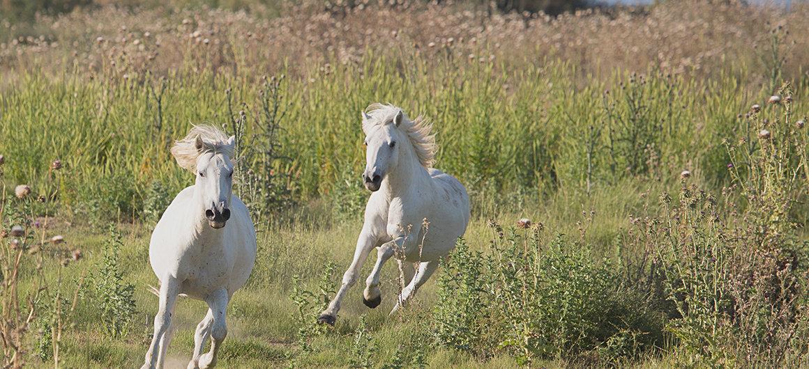 Wilde paarden in Camargue