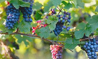 Druiven aan een tros